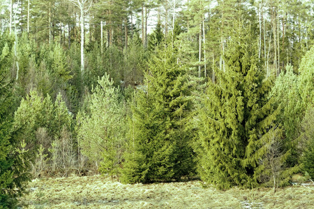 picea: Forest with Norway spruce (Picea abies), evergreen conifer, famous for its use as a Christmas tree. Evergreen trees. Grass covered with snow. Early spring in southern Norway.