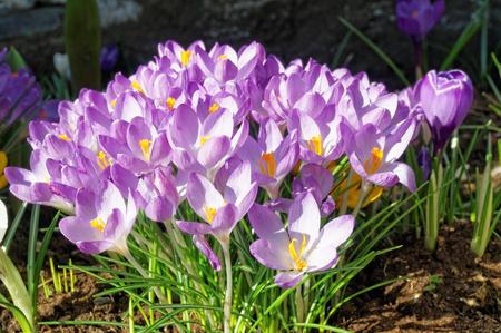 croci: Purple Crocus flowers blooming in spring time. Crocuses,  croci, is a genus of flowering plants.  Norway