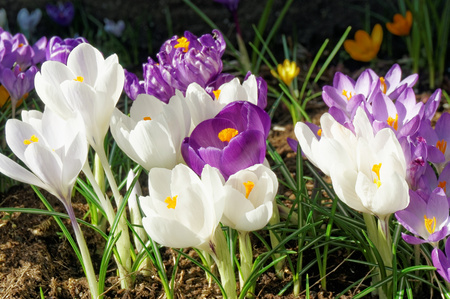 croci: White and purple crocus flowers blooming in spring time. Crocuses,  croci, is a genus of flowering plants.  Norway Stock Photo