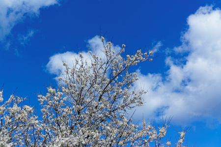 Norwegian Baum Blüht Weiß Wild Pflaumenbaum Im Frühjahr. Frühling ...