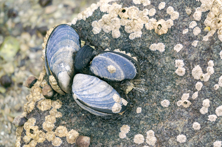 Blue mussel (Mytilus edulis) and Limpet aquatic snail on rocky beach with brown seaweed (Ascophyllum nodosum) known as Norwegian kelp. Aquaculture and seafood from the Norwegian Sea, Froya Hitra region, Norway