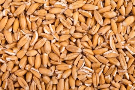 avena: granos de trigo