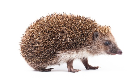 wild hedgehog isolated on white Stock Photo