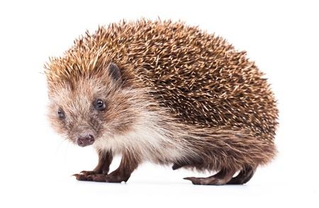 wild hedgehog isolated on white Zdjęcie Seryjne