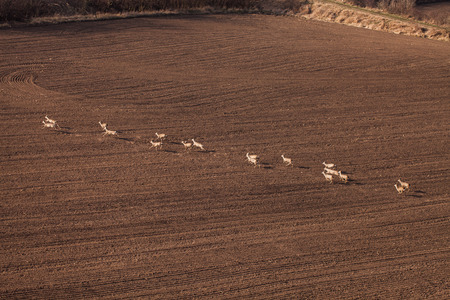 deers running on the field on autumn time   in Poland photo