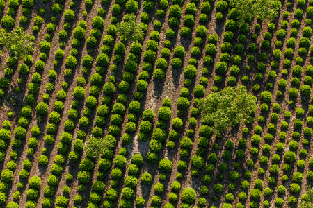 winterly: aerial view of the tree plantation in Poland Stock Photo