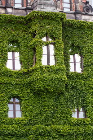 clinging: Wall of a  Wroclaw museum building  covered with ivy Editorial
