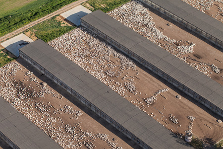 cackle: aerial view of a  white domestic geese  farm