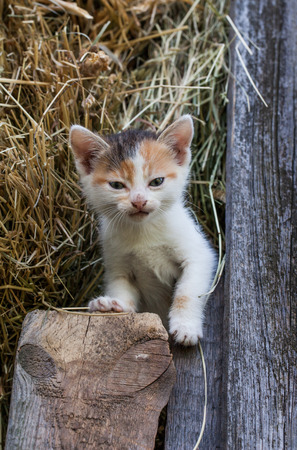 frisky: little kitten in the old barn