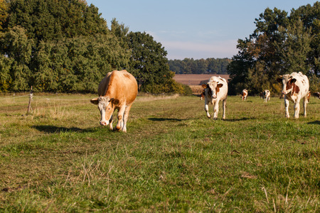 milk production: Herd of cows at summer green field  and blue sky in Poland