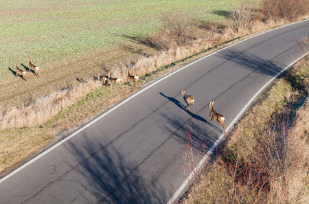mother and baby deer: deers running on the field on winter time in Poland