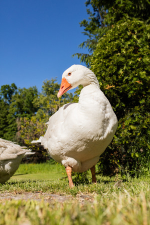 White geese in summer park