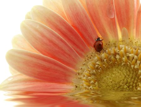 ladybird on gerber daisy with reflection over white photo
