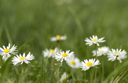 nice summer meadow with a fresh green grass and daisies. Shallow DOF Stock Photo - 2854785
