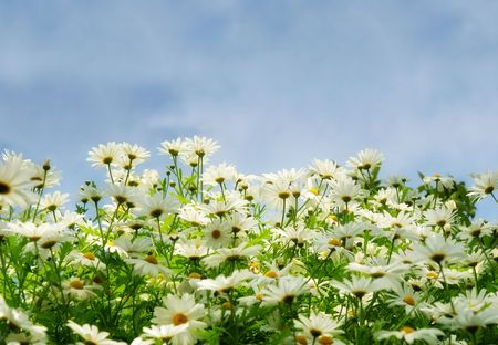 meadow with camomiles over blue sky with white clouds.soft effect used Stock Photo - 3064075