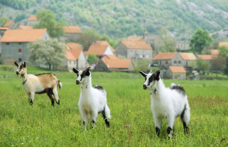 three goats in the meadow over village background Stock Photo - 3064083