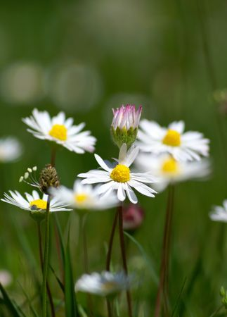 few camomiles on the summer field. Shallow DOF Stock Photo - 3114218