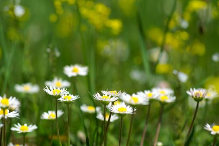 nice summer meadow with camomiles in green grass. Shallow DOF Stock Photo - 3114219