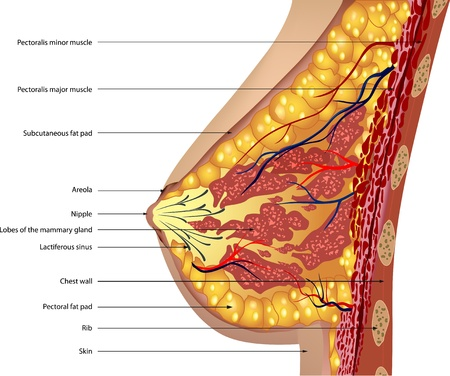 Anatomy of the breast  Vector