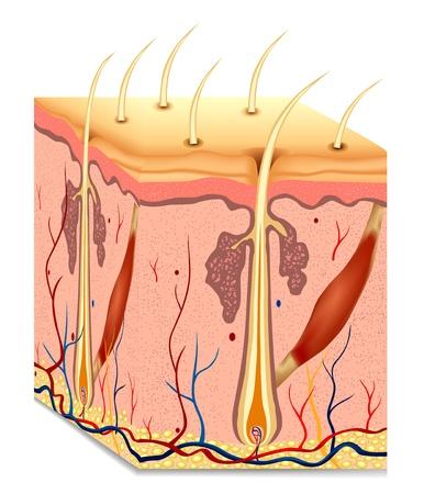 人間の髪の毛: 人間の毛髪構造の解剖学のイラスト