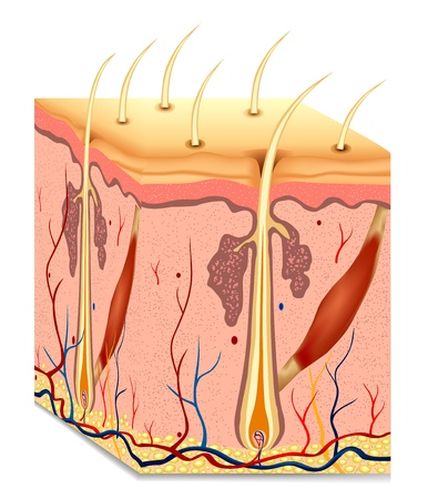 skin structure: Human hair structure anatomy illustration