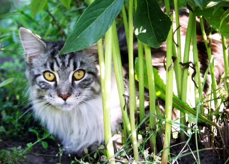 Photo of the Maine Coon cat in grass Stock Photo - 17046080