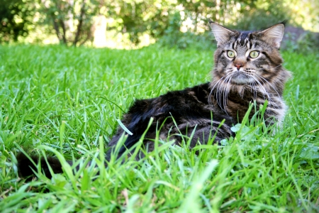 Photo Cat Maine Coon in the grass Stock Photo - 17046083
