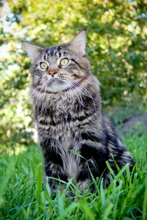 &Ntilde,at Maine Coon in the grass in the summer Stock Photo - 17046097