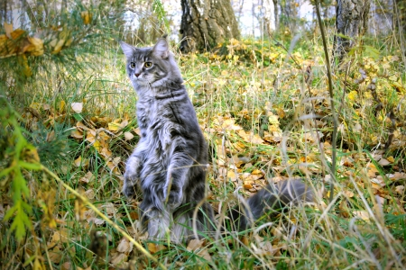 Playful Cat Maine Coon in a forest in autumn Stock Photo - 17046098