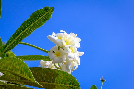 Branch of tropical flowers frangipani Thailand photo