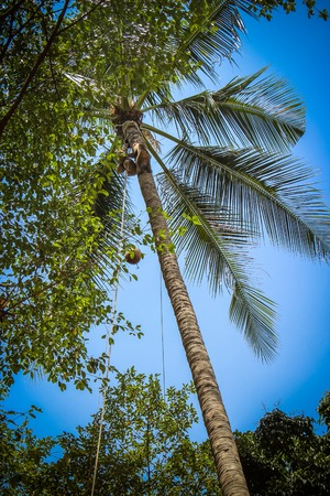 Monkey climbs on a tree to reap crop of cocoes photo