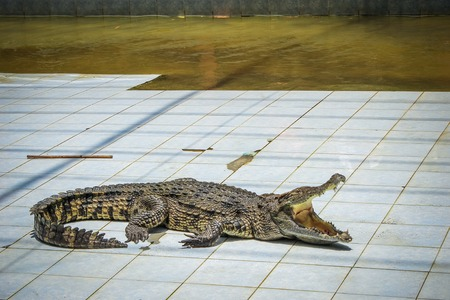 THAILAND 4 APRIL 2013 Crocodile show at Koh Samui zoo