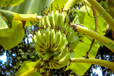 pappy: Green bananas on a tree
