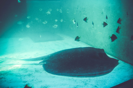 beautiful stingray in the blue  an oceanarium Stock Photo