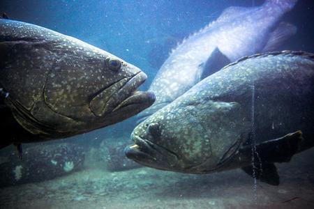 anubias: Imagen subacu�tica de los arrecifes de coral y los pescados Enmascarado Foto de archivo