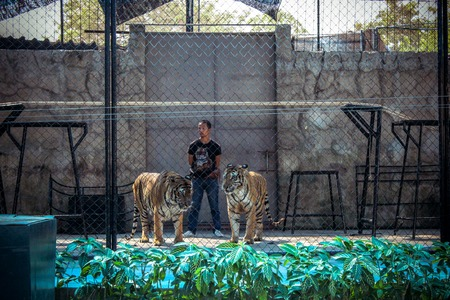 mastery: fire show tigers in the zoo on Koh Samui Editorial
