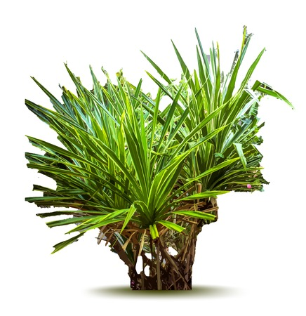 chlorophyll: Tropical plant. Vector illustration