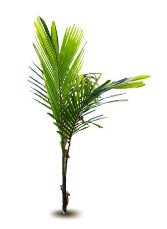coppice: New born palm vector tree