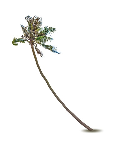 cocos: Vector illustration of the palm tree Illustration