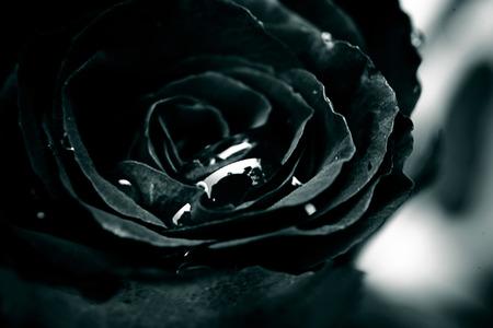 close up of black rose with drop Archivio Fotografico