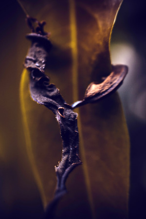 dried leaf: Dried leaf