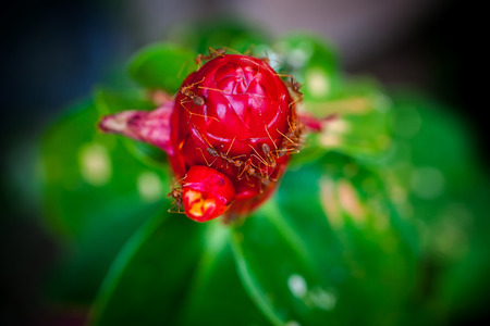 mutualism: Ants is staying on the red unblown flower bud Stock Photo
