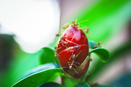 Ants is staying on the red unblown flower bud photo