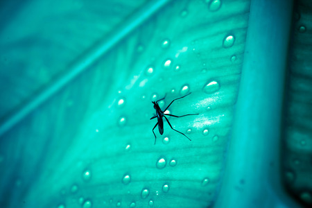 Close up of mosquito sitting on the wet leaf with drops after rain. Macro photo
