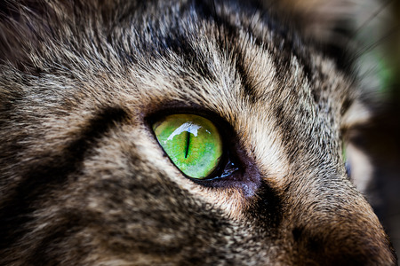 eye green: Ojo verde del primer de Maine Coon negro atigrado gato. Macro Foto de archivo
