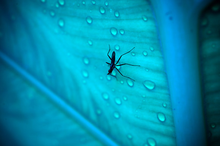 culicidae: Close up of mosquito sitting on the wet leaf with drops after rain. Macro