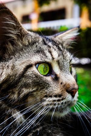 eye green: Maine Coon gato atigrado negro con el ojo verde tirado en la hierba. Macro