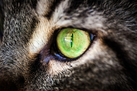 Closeup green eye of Maine Coon black tabby cat . Macro photo