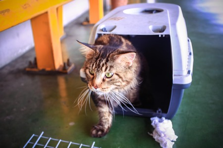 cat carrier: Cat Maine coon in a pet carrier