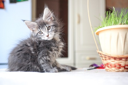 pampered: Blue tabby color Maine coon kitten plays at grass